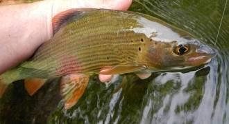 Fly fishing initiation and improvement in Savoie