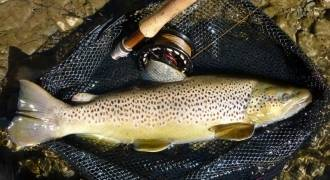 Fly fishing for trout in rivers of Pyrenees-Orientales