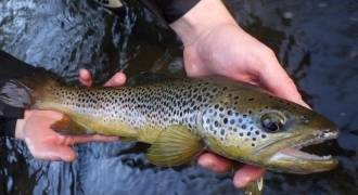 Trout and grayling fishing in Loire and Haute-Loire