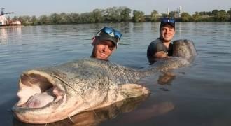 Pêche du silure sur le Rhône