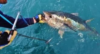 Pêche au thon en Méditerranée au large du Grau-du-Roi