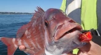 Pêche du pagre et de la dorade au Tenya et Madai