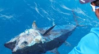 Bluefin tuna fishing in Mediteranean sea