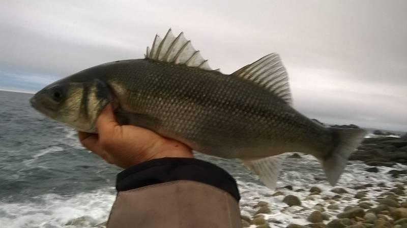 Lure fishing initiation in Bretagne