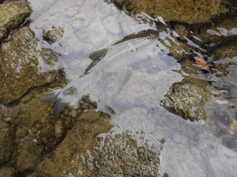 Pêche de l'ombre à la mouche et au Tenkara en Champagne