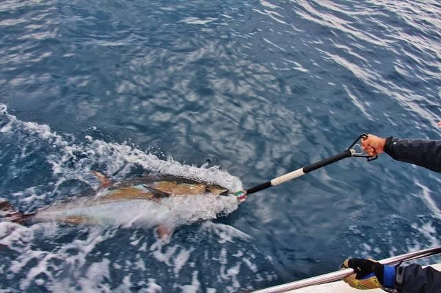 Bluefin tuna fishing in Mediterranean sea next to Port-Camargue